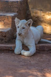 White Lion Cub Stock Image