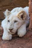 White Lion Cub Stock Photo