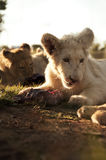White lion cub eating meat. Portrait of white lion cub eating meat with parent in background Stock Image