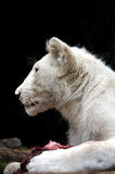 White Lion Cub Feeding Royalty Free Stock Image