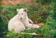 White lion cub playing Stock Photos