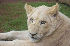 White Lion Cub Portrait 1 Stock Image