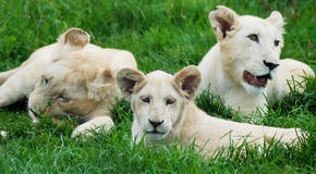 White Lion Cubs. Three white lion cubs laying in the grass. One really eying off the camera Stock Photos