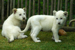 White lion cubs royalty free stock photos