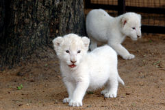 White lion cubs. The very rare white lion stock photo