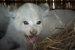 White lion cubs born at the zoo Stock Photo