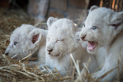 White lion cubs born at the zoo Royalty Free Stock Image