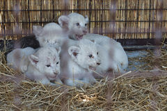 White lion cubs born at the zoo Stock Image