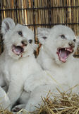 White lion cubs born at the zoo Royalty Free Stock Images