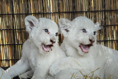 White lion cubs born at the zoo Stock Photos