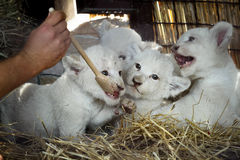 White lion cubs born at the zoo Stock Photography