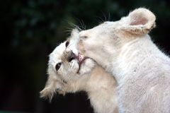 White Lion Cubs Kissing. Two rare white lion cubs in a playful mood with the teeth and gums of one showing Royalty Free Stock Photography