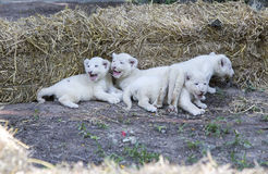 White Lion Cubs Stock Image