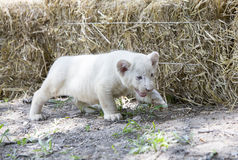 White Lion Cubs Stock Photography