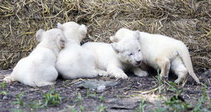 White Lion Cubs Royalty Free Stock Images