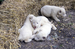 White Lion Cubs Royalty Free Stock Photography