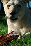 White lion eating. A white lion lying down and eating a her kill Royalty Free Stock Photography