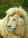 White lion face. A rare white lion male head portrait watching in a game park in South Africa Royalty Free Stock Photos