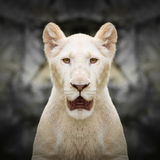 White lion face close up Royalty Free Stock Images