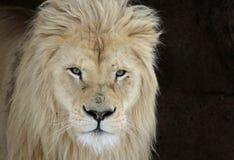 White Lion Face. A White Lion (Panterha leo krugeri) staring at the camera Royalty Free Stock Photo