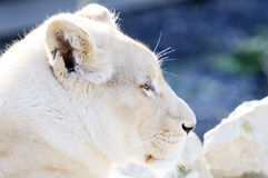 White lion female profile Royalty Free Stock Photos