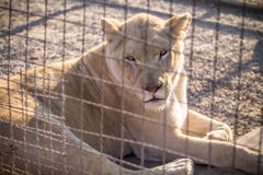White Lion. Female white lion in the zoo Royalty Free Stock Photography