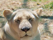White lion female in a zoo. Carnivorous, catlike animal, wildlife and nature, threatened species Stock Photo