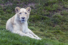 White Lion Gaze Stock Image