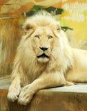 White lion Stock Photos