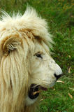 White lion head profile. A rare white lion head profile showing teeth and watching other lions in a game reserve in South Africa Royalty Free Stock Photo