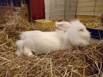White Lion head rabbit snoozing on rug. White long haird miniature Lion head/Netherland cross rabbit lounging on a rug covered by a pile of hay, shot with a Sony Royalty Free Stock Photography