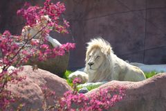 White Lion. Laying down on ground Royalty Free Stock Photos