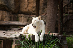 The white lion is laying relaxed in his habitat Stock Image