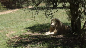 White lion lies in the shade of a tree Royalty Free Stock Photos