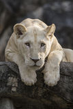 White lion. In the light moment Stock Photos