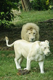 White lion and lioness stock photo