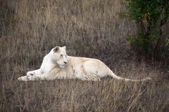 White lion Royalty Free Stock Images