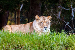 White lion. Ess resting at wildlife sanctuary near Plettenberg Bay, South Africa Royalty Free Stock Images