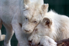 White lion and lioness show each other tenderness and love Royalty Free Stock Image