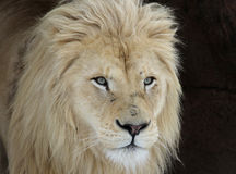 White Lion Look Royalty Free Stock Photography