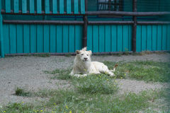White lion looks. At you very dangerous Royalty Free Stock Photo