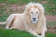 White lion lying down on grass Stock Photo