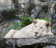 White lion lying on rock clif. White lion   lying on rock clif Royalty Free Stock Image