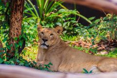 White lion is lying in the shade of tree during summer forest. Cute white lion is lying in the shade of tree during summer forest Royalty Free Stock Photography