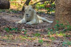White lion is lying in the shade of tree during summer forest. Cute white lion is lying in the shade of tree during summer forest Royalty Free Stock Image
