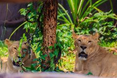 White lion is lying in the shade of tree during summer forest. Cute white lion is lying in the shade of tree during summer forest Stock Photography