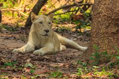 White lion is lying in the shade of tree during summer forest. Cute white lion is lying in the shade of tree during summer forest Stock Photo