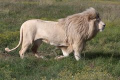 White Lion Male. Magnificent big male white lion running across the grass Royalty Free Stock Images