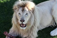 White Lion Male Royalty Free Stock Image