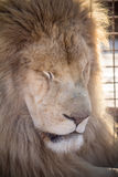 White Lion. Male white lion in Africa Royalty Free Stock Photo